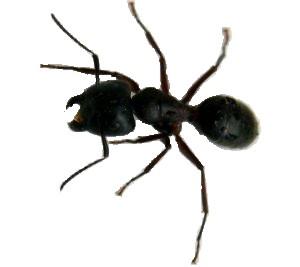 Mravenec dřevokaz (Camponotus ligniperda) fotka
