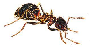 Mravenec drnový (Tetramorium caespitum) fotka