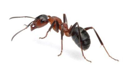 Mravenec obecný (Lasius niger) fotka