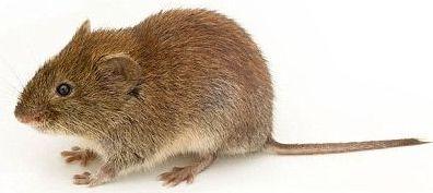 Myš domácí foto