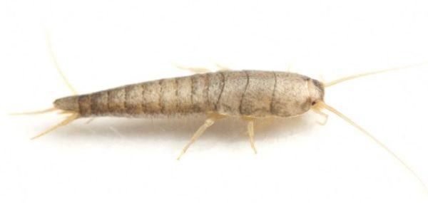 Rybenka obecná (Lepisma saccharina L.) foto